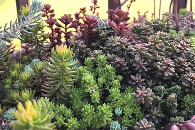 フェンスの多肉植物