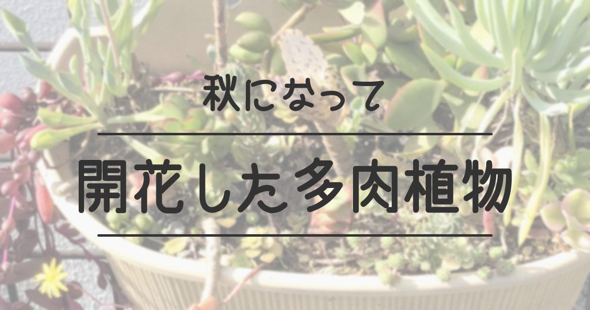 秋になって開花した多肉植物